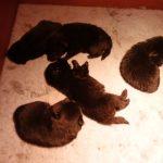 5 chiots Schipperke